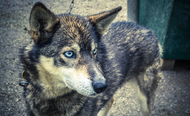 Photo Collections - Blue eyed dog