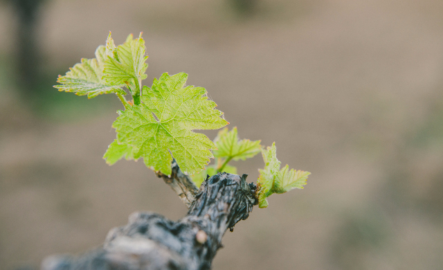Wine Photo - Sprout